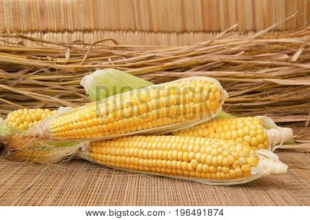 Fresh young sweet corn on cobs with husk closeup. Freshly picked ears of corn in bunch. Golden corn kernels. Selective focus.