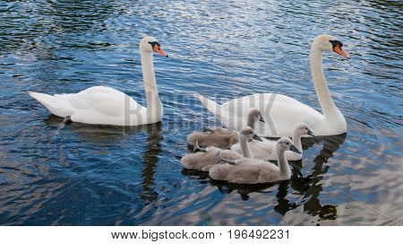 Family Of Mute Swans With Their Four Cygnets