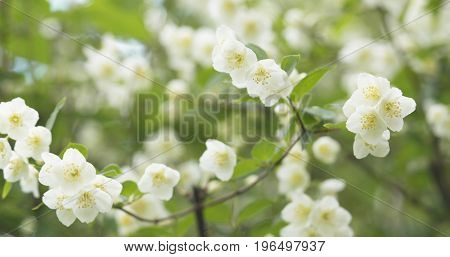 white jasmine flowers in cloudy day, wide photo