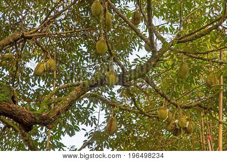 Durian trees are very fruitful 0 0