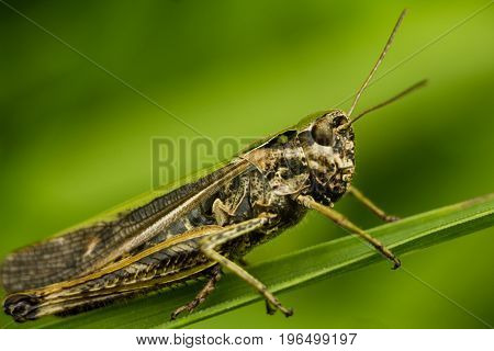 The bow-winged grasshopper - Chorthippus biguttulus. Portrait of an insect close-up. The Grasshopper sits on a leaf of a blade of grass. A grasshopper takes the whole frame. His tendrils are visible.