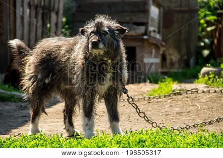 Mongrel Dog On A Chain In The Village Guarding The Homestead. Dog In The Yard