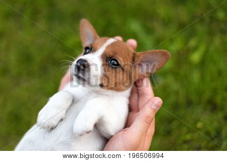 Man holding cute puppy Jack Russel in hands