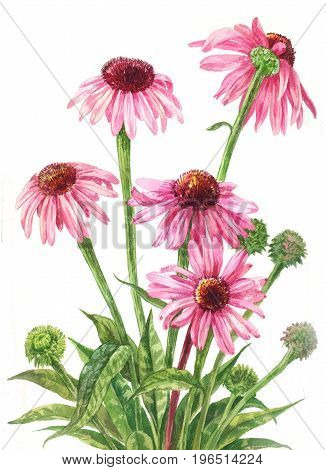 Echinacea watercolor. Botanical illustration on white background. Medicinal pink flowers. Bouquet of five red daisies. Hand drawn art