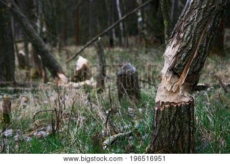 trees cut by beaver. Beaver dam. The dam constructed by a beaver. House of a beaver. A beaver in the wild nature.