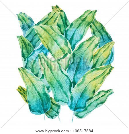 Watercolor painting of green tropical leaves. Hand-made pattern of waringin Ficus benjamina drawn on white paper.