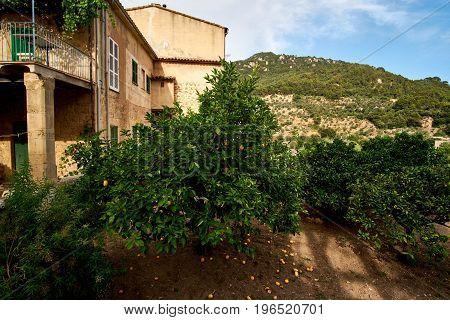 Mandarin tree in the garden. European Village. Mandarins under the tree