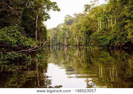 Natural beauty of the pristine rainforest along the Kinabatangan river