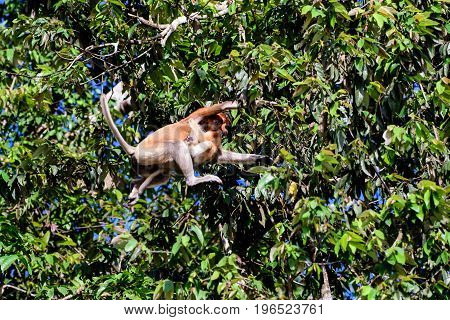Proboscis monkey leaping from one tree to another with her baby clinging on