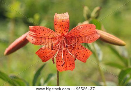 Orange lily close-up in the garden in the summer garden