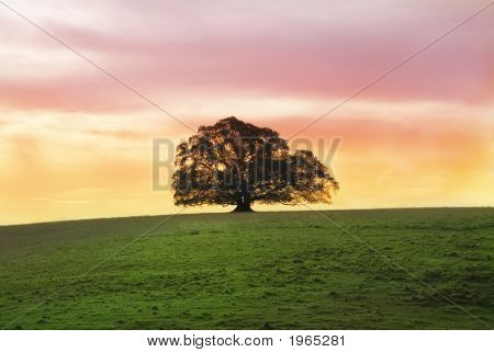 Solitary Moreton Bay Fig Tree at sunset alone in a large field poster
