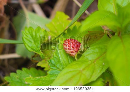 The strawberries growing in the grass. Wild edible berries - healthy vitamin food nature. The season of ripening berries in the forest.