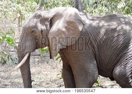 Elephants in the savanna of Tanzania's tarangire park