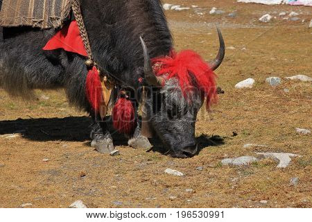 Red decorated yak photographed in Gokyo Nepal.