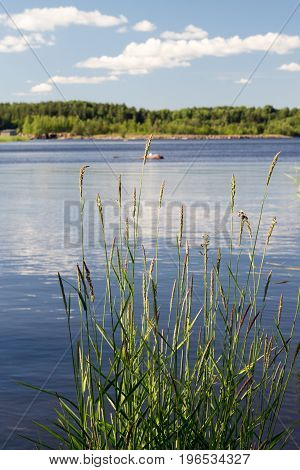 Reed fluttering in the wind in water at summer.