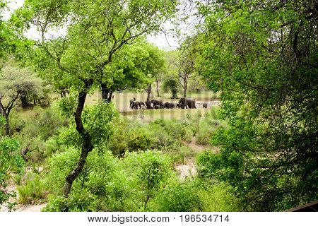 Safari landscape of African elephants in the bush