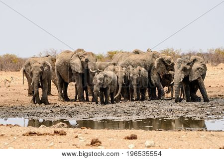 Herd of African elephants gathering by the waterhole