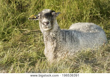 Sheep lying in grass looking curious at the photgrapher.