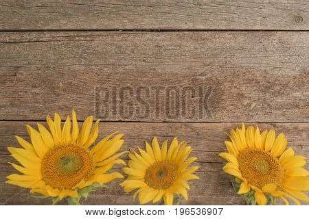 Three sunflowers from below on the old wooden background
