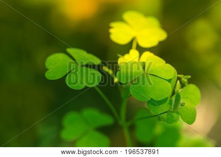Green background with three-leaved shamrocks. Shallow depth of field focus on near leaf.Shamrock in the sunlight.