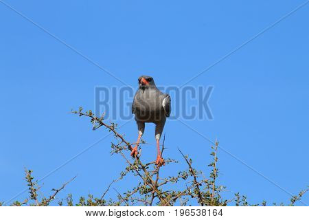 Pale Chanting Goshawk From Addo Elephant National Park, South African