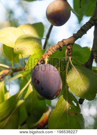 A Close Up Purple Growing Ripe Damson Fruit On Tree