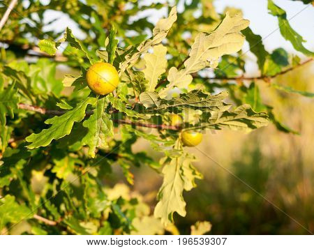 Big Round And Green Growing Fruit On An Acorn Oak Tree In Summer