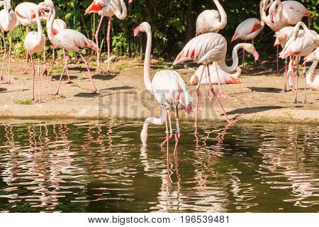 Flamingo birds standing in water in a park