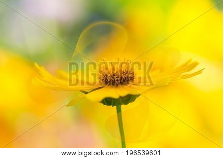 Yellow flower with delicate transparent petals on a beautiful background. Kosmeya flower petals abstract artistic image