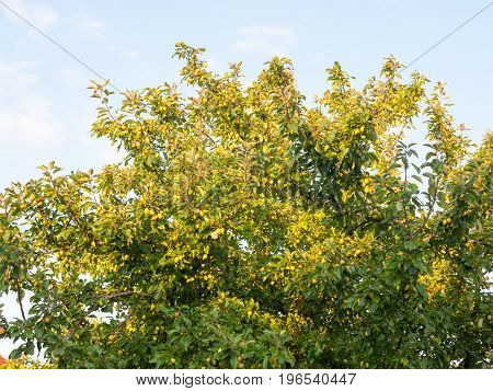 Green Growing Crab Apples On A Tree In Summer Light