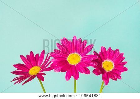 Three pink pyrethrum flowers on blue sky as background. Pink daisy.