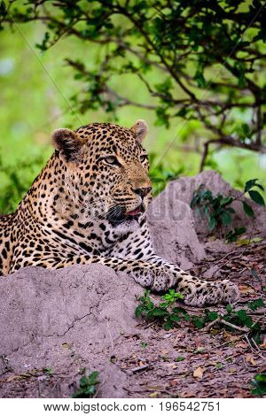 alert male Leopard paying close attention to proceedings