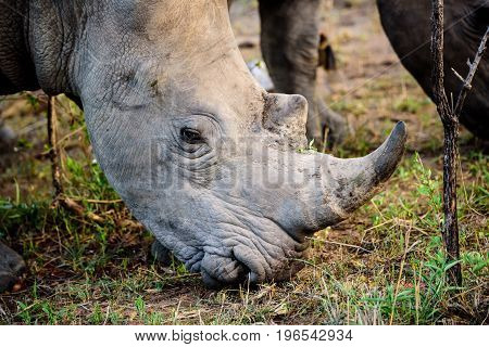 Close up of the head of a Rhino