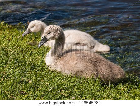 Two Young Cygnets Of Mute Swan Swimming In A Lake