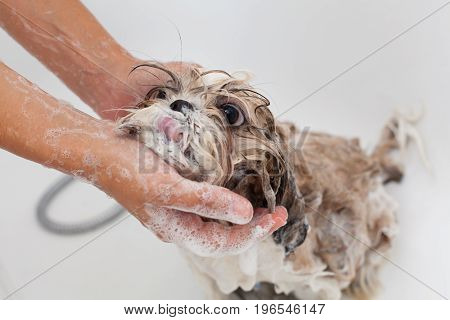 Bubble Bath a lovely dog Shih Tzu