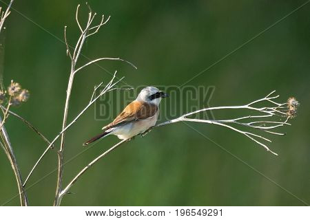 Lanius collurio on a branch beautiful bird Russia village summer