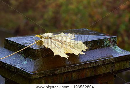 Wet yellow maple leaves on old iron pedestal