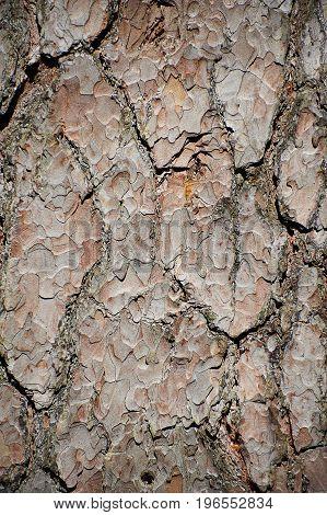 Fragment of pine tree bark closeup texture