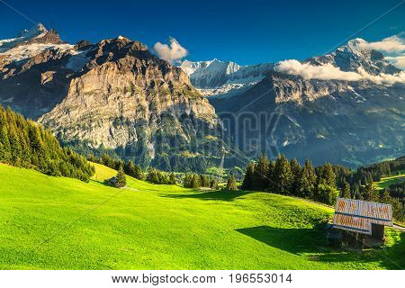 Amazing green grass with pine trees in Grindelwald mountain village Bernese Oberland Switzerland Europe