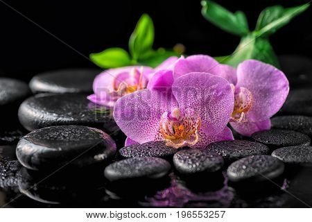 beautiful spa setting of blooming twig lilac orchid flower green leaves with water drops on zen basalt stones