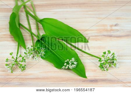 Buckrams Allium ursinum also known as ramsons broad-leaved garlic wood garlic bear leek or bear's garlic