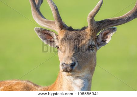Close up horned young deer buck portrait with green blurry background.