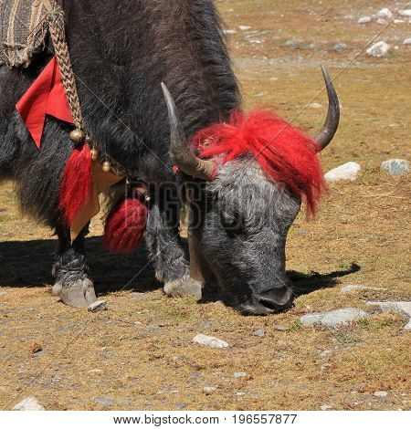 Yak photographed in the Everest National Park Nepal.
