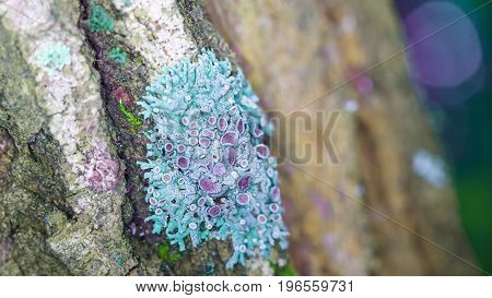 Blue lichen. Grows on the bark of a tree. Similar to coral. Subtle world of the forest dwellers. Beautiful Staghorn formation in the old tree. Old wood. Protect the tree from disease.
