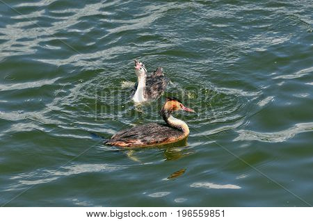 The great crested grebe is a member of the grebe family of water birds. Adult bird, female and chick.