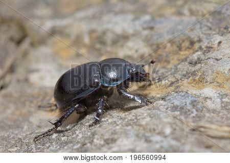 Dor Beetle - Geotrupes stercorarius Large Black Beetle
