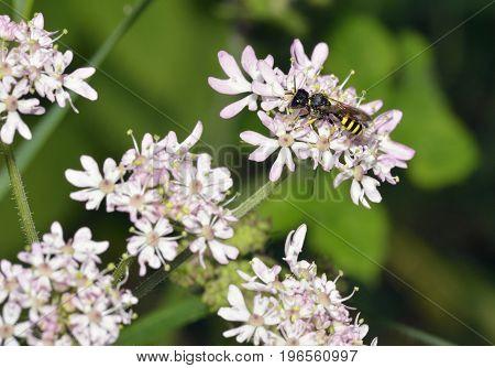 Digger Wasp On Hogweed