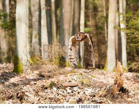 Portrait od long-eared owl in flight - Asio otus otus