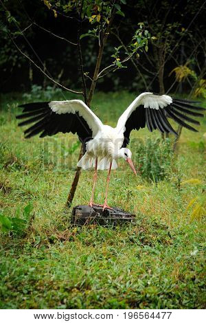 Stork  On A Background Of Forest