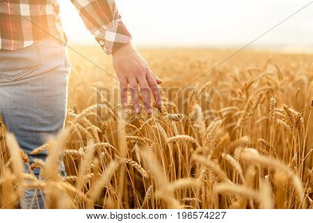 Farmer goes and touches his crop with hand in a golden wheat field. Harvesting, organic farming concept